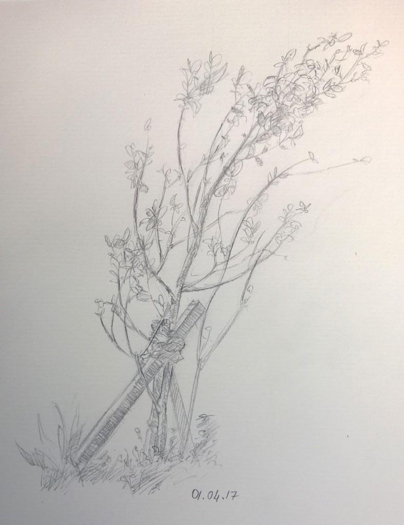 Feijoa Plant Sketch